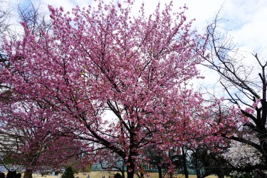 Cherry Blossoms at Shinjuku Gyoen National Garden
