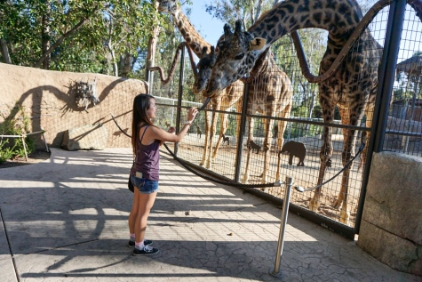 Feeding the giraffes at San Diego Zoo